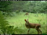 Deer fawn and adult