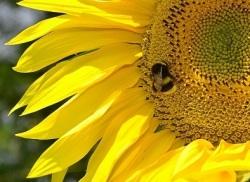BB_sunflower_CC