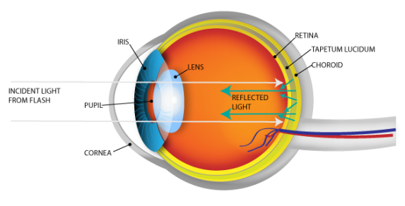 The Science Behind Eyeshine