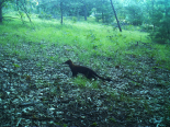 A fisher captured on school forest Snapshot Wisconsin camera in Marquette County