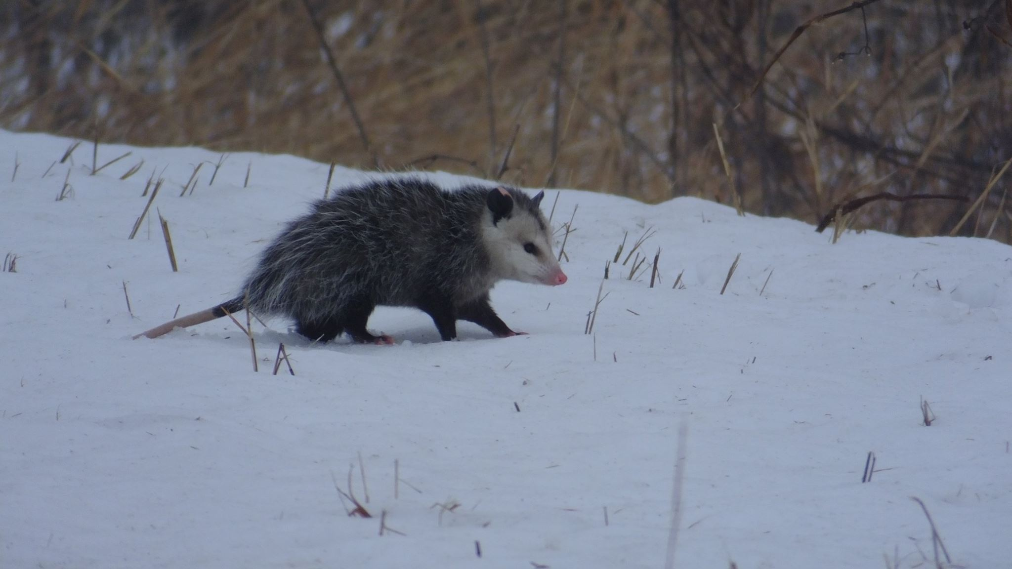 possum_snow