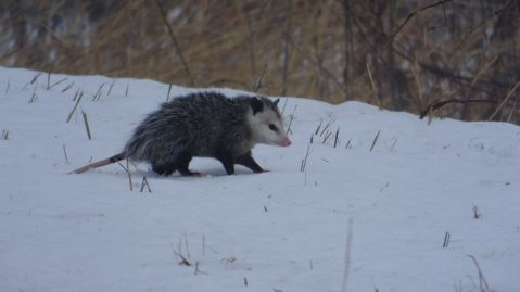 possum_snow