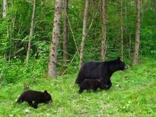 Sawyer County bear family