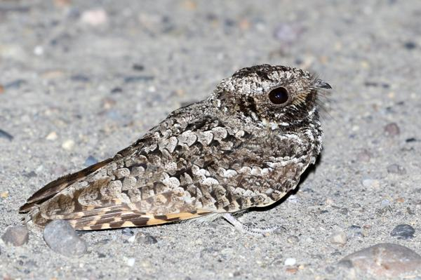 common poorwill true hibernator