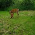 deer_SSWI000000005963919C