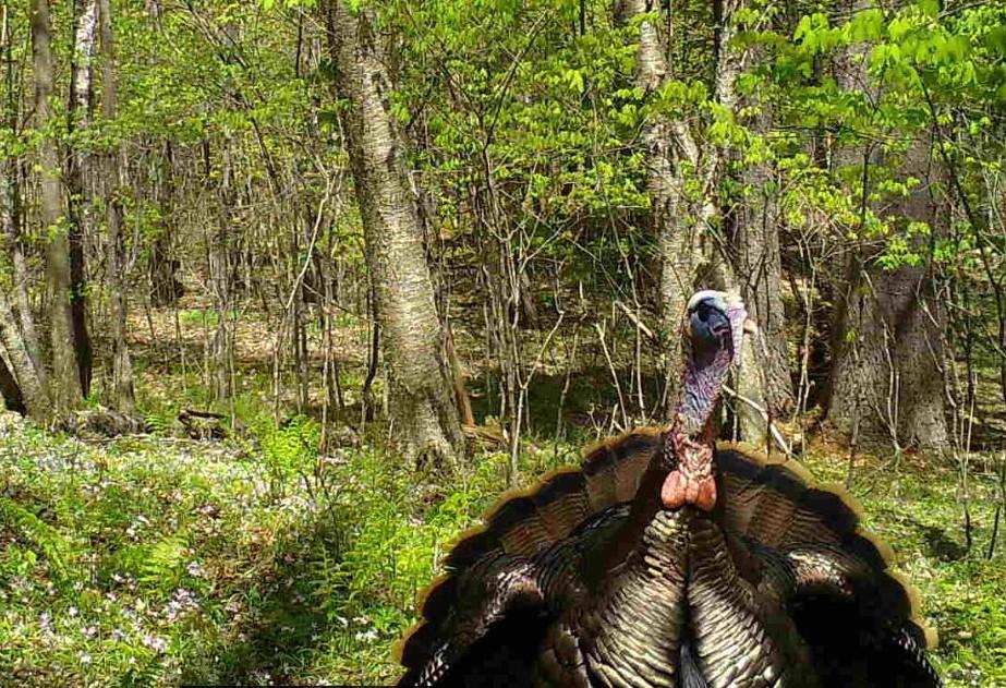 A tom turkey