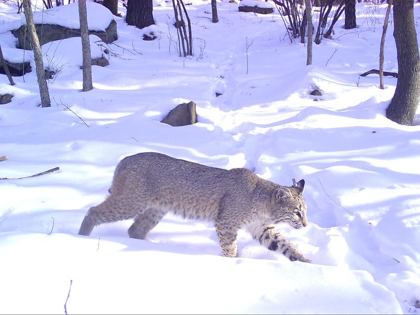 A bobcat walking through snow