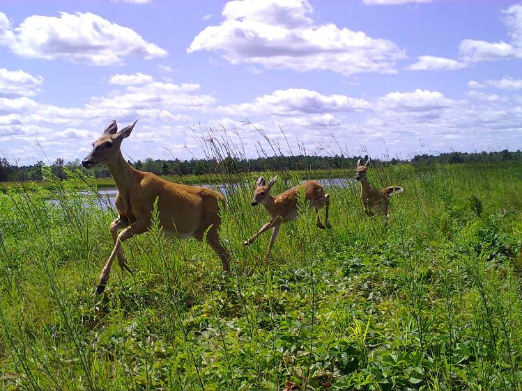 Three deer running through a field