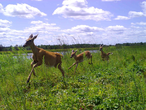 Three deer running through a field
