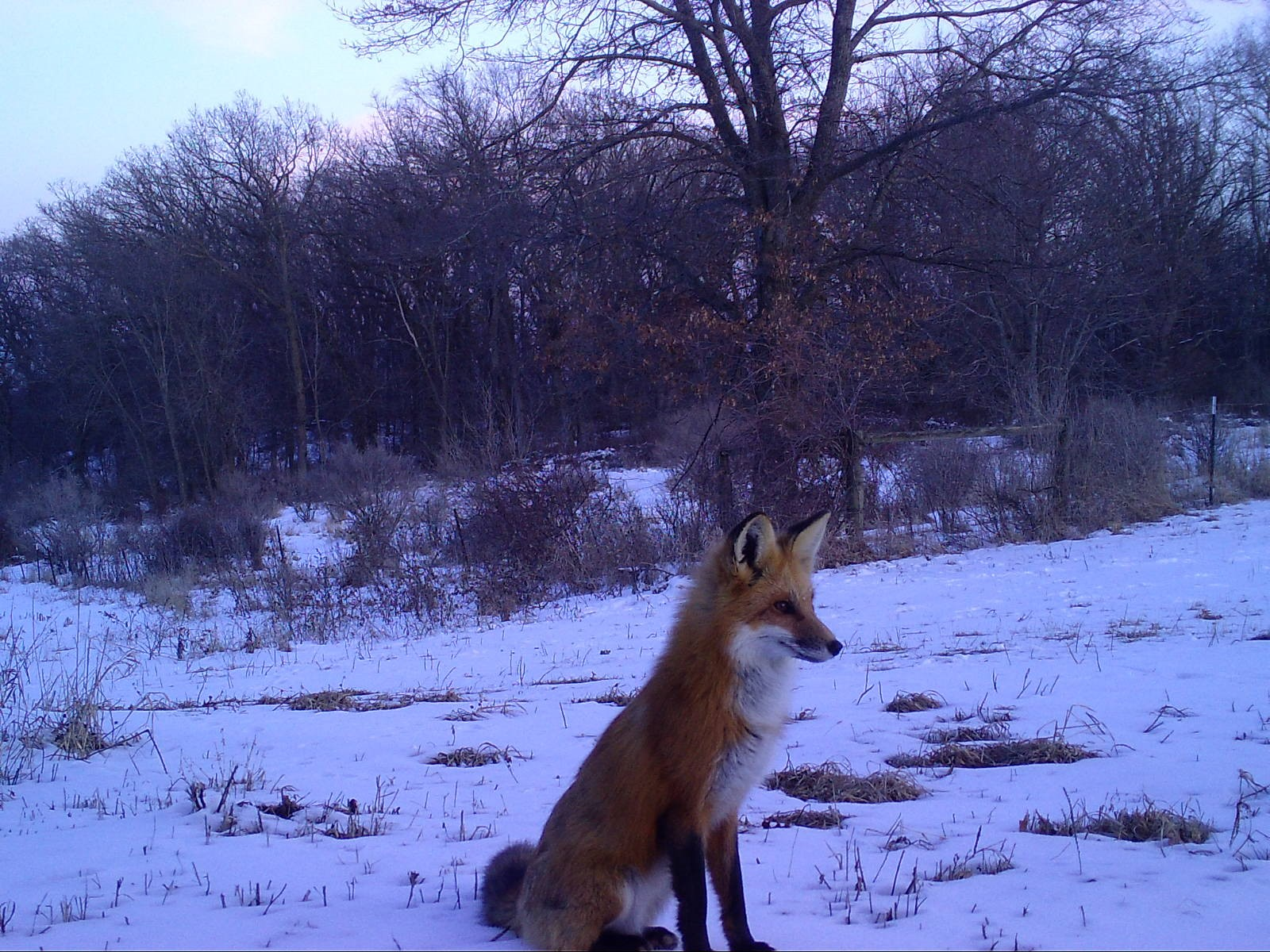 A red fox sitting in the snow