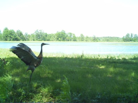 A sandhill crane with wings open