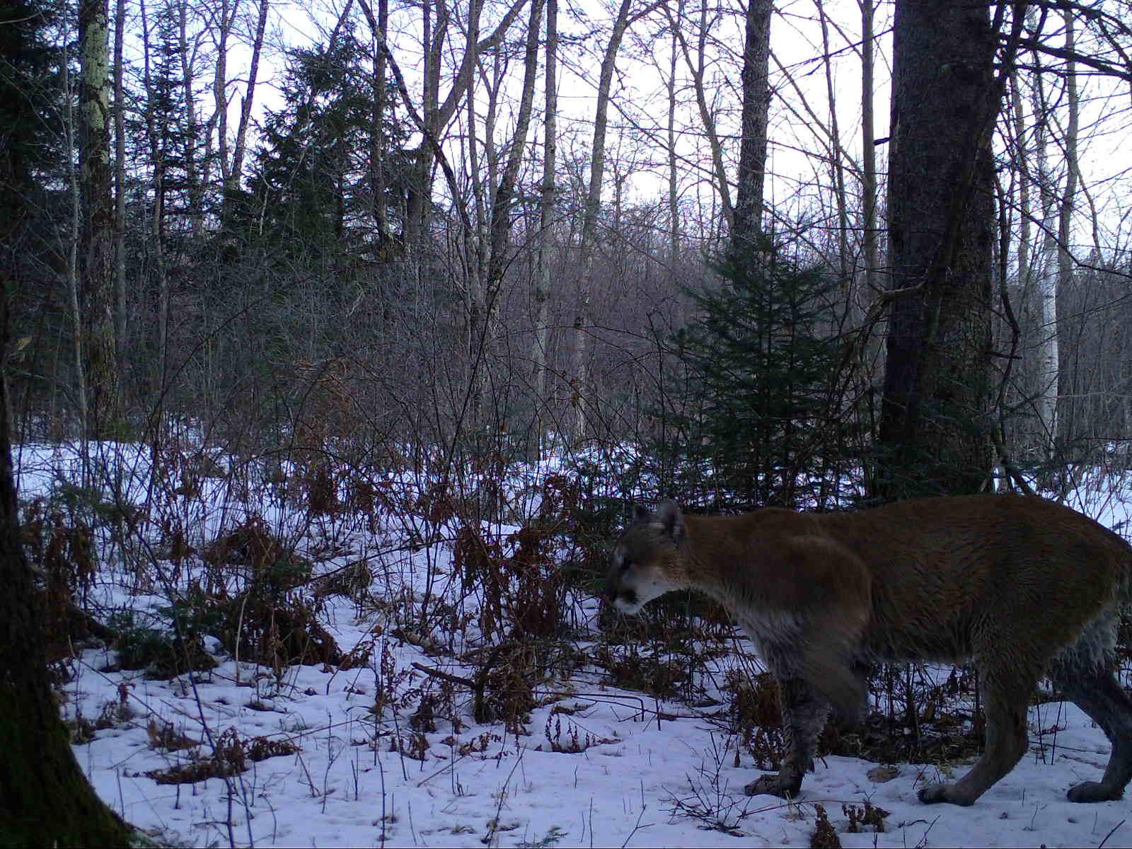 A cougar