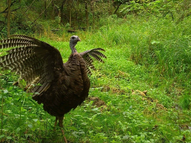 A wild turkey with wings open