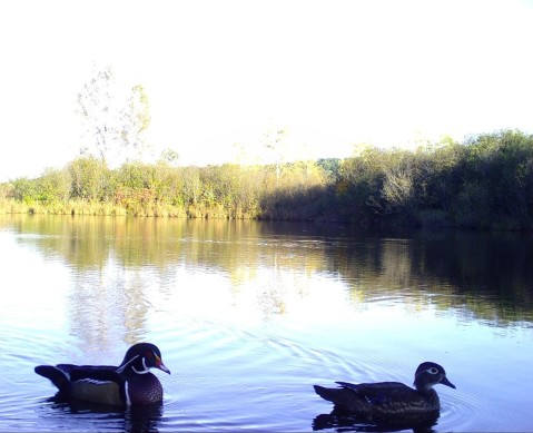 Two wood ducks floating on a pond