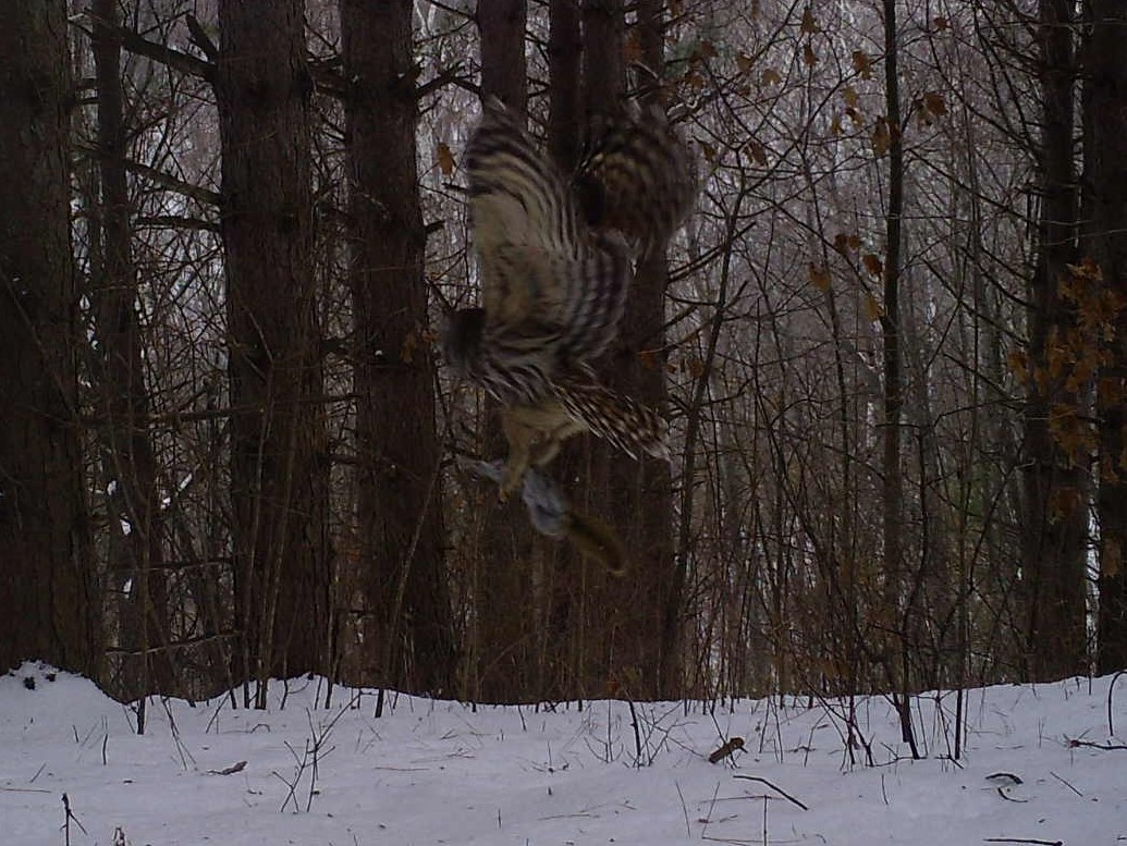 A barred owl flying through the woods with a squirrel in its talons