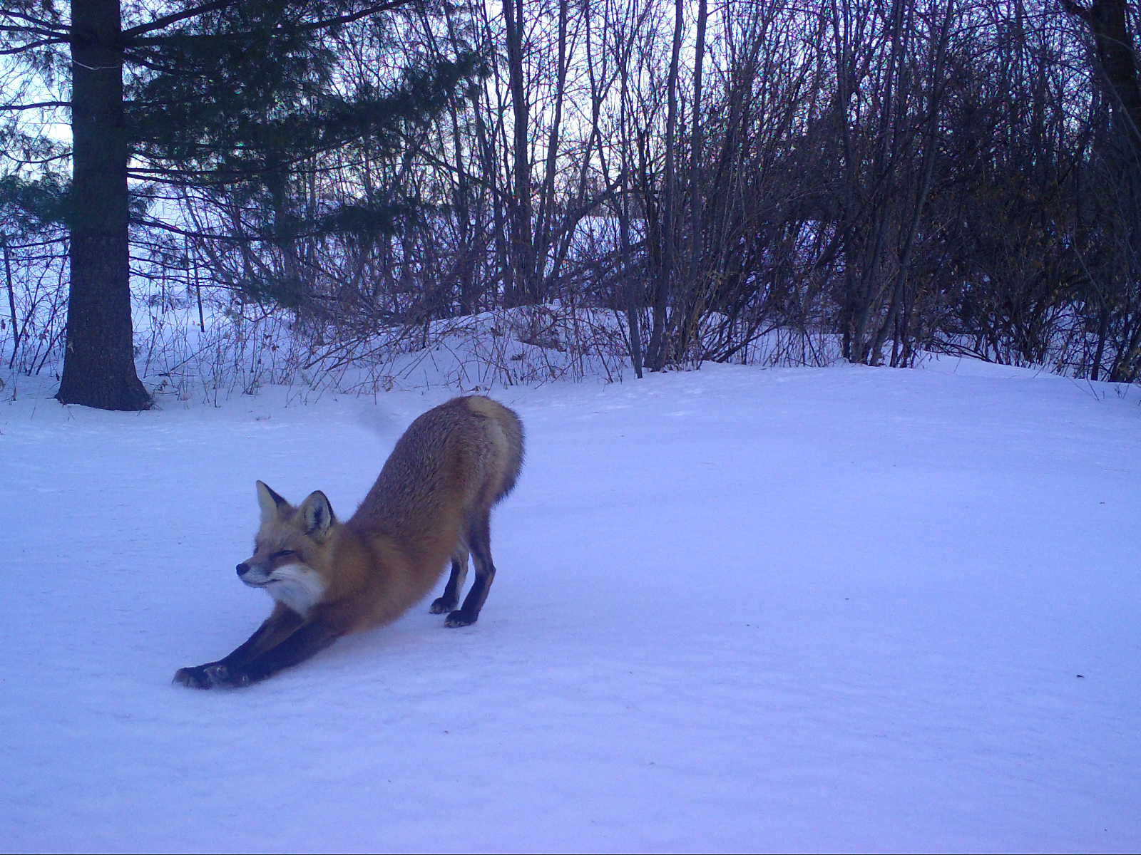 A red fox stretching in the snow