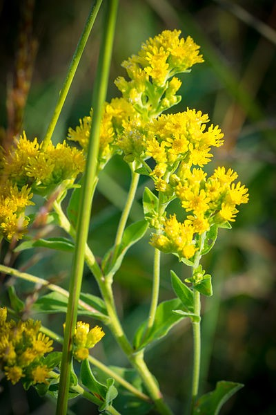 A goldenrod plant
