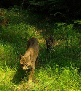 Family of bobcats