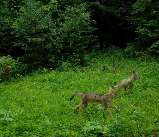 Two coyotes in a field