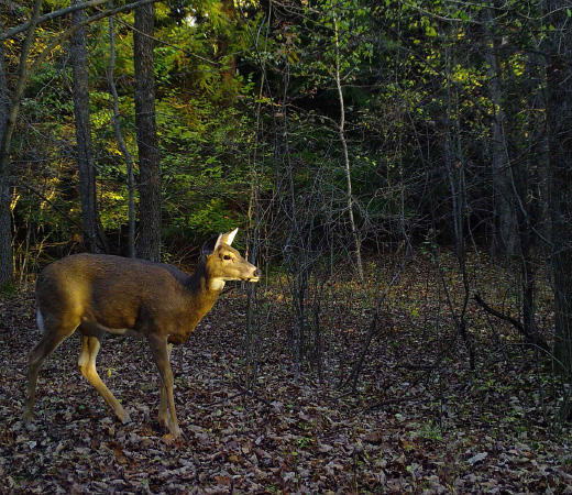 A doe in the woods