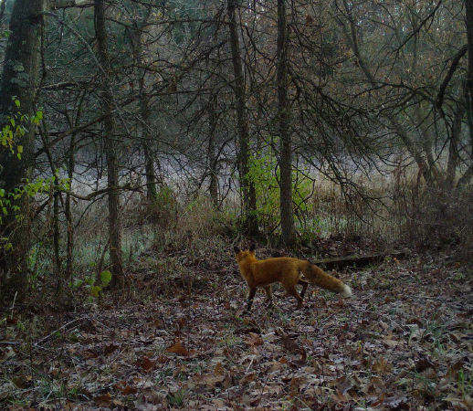A red fox in the woods