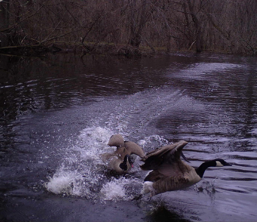 Two geese taking off from a pond