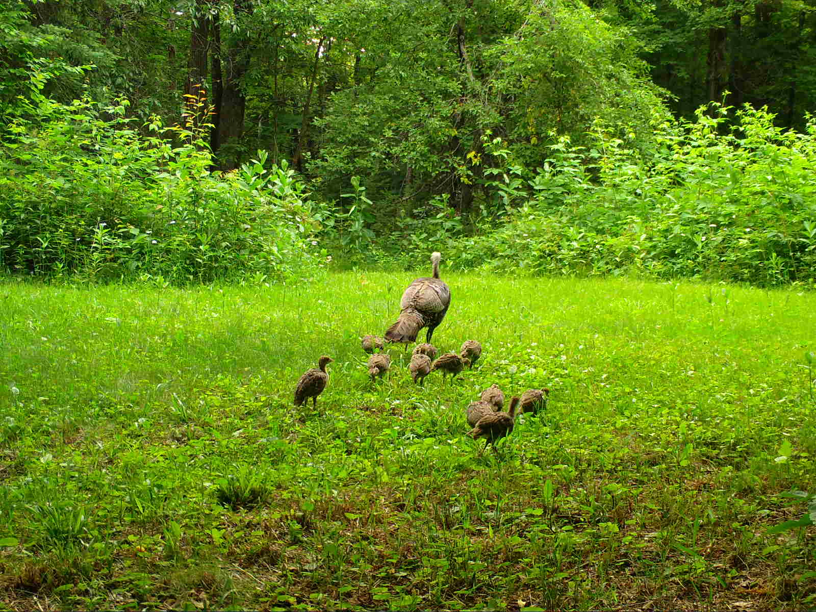 Wild turkey and group of young