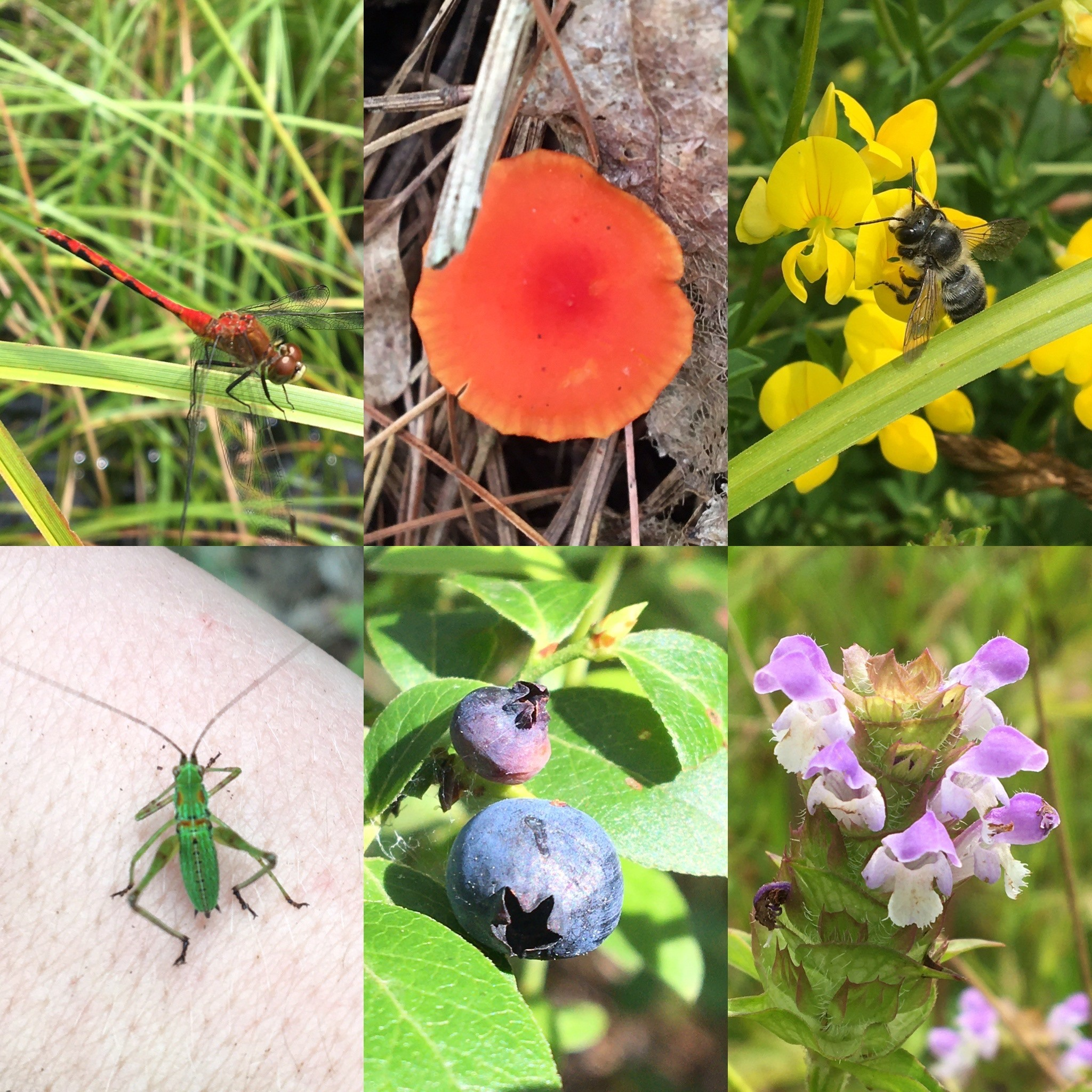 a photo collage of a red dragonfly, fungus, trefoil plant and bee, heal-all plant, blueberries, katydid nymph.