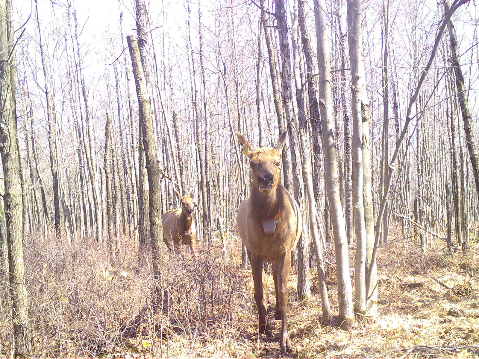 Two elk cows with collars