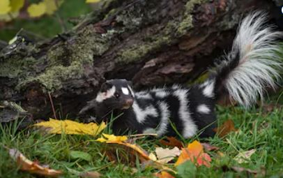 Spotted Skunk by a Log