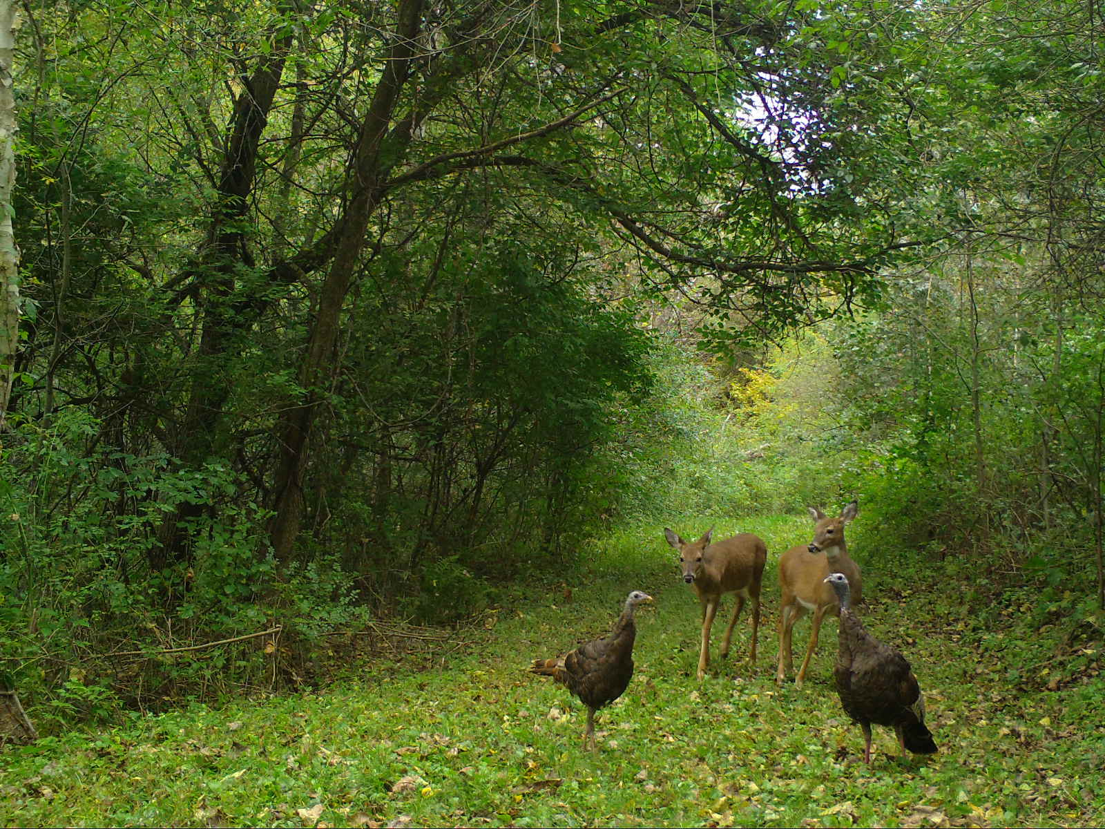 Two turkeys and two deer