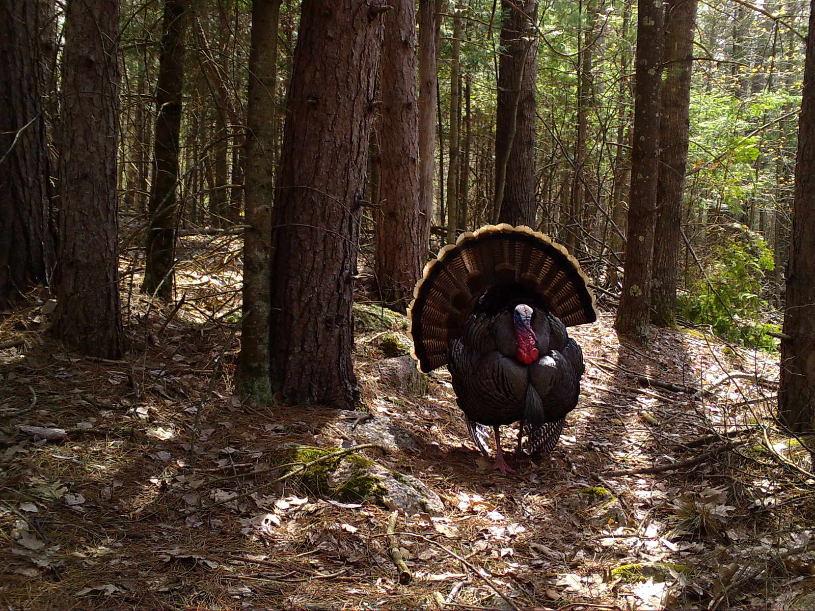 A tom turkey displaying its feathers in the woods