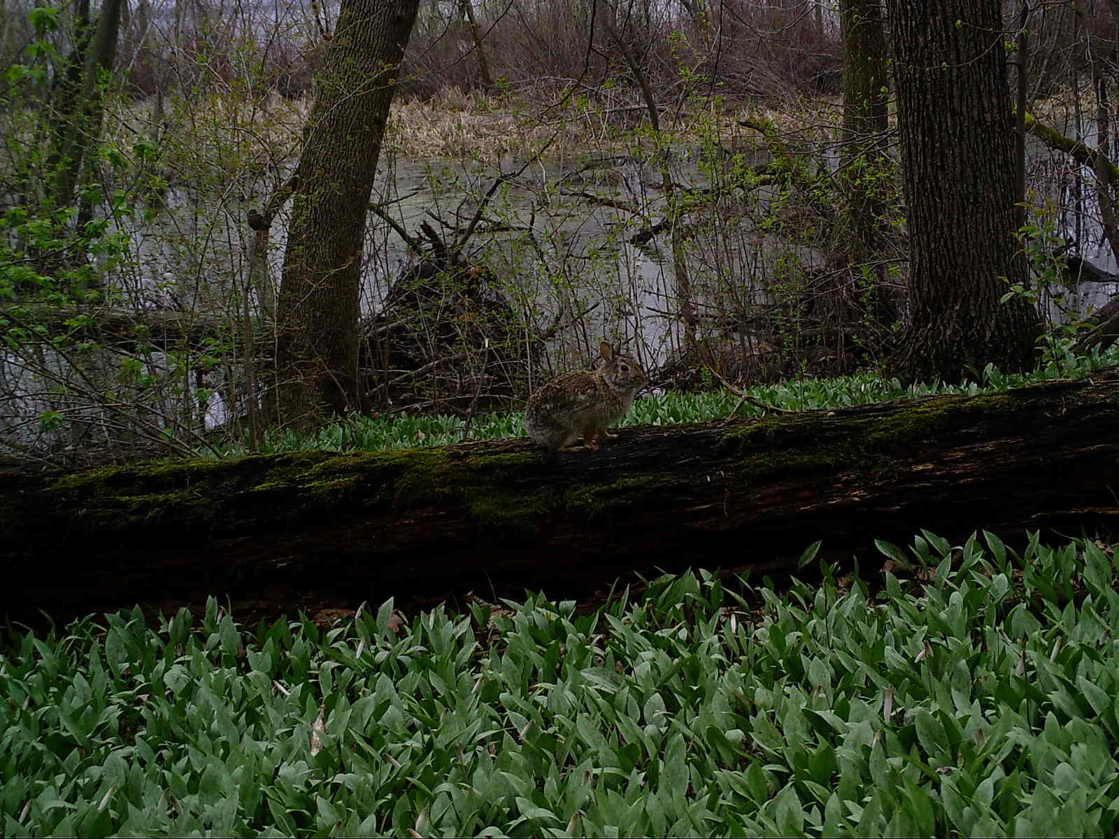 A cottontail rabbit sitting on a log