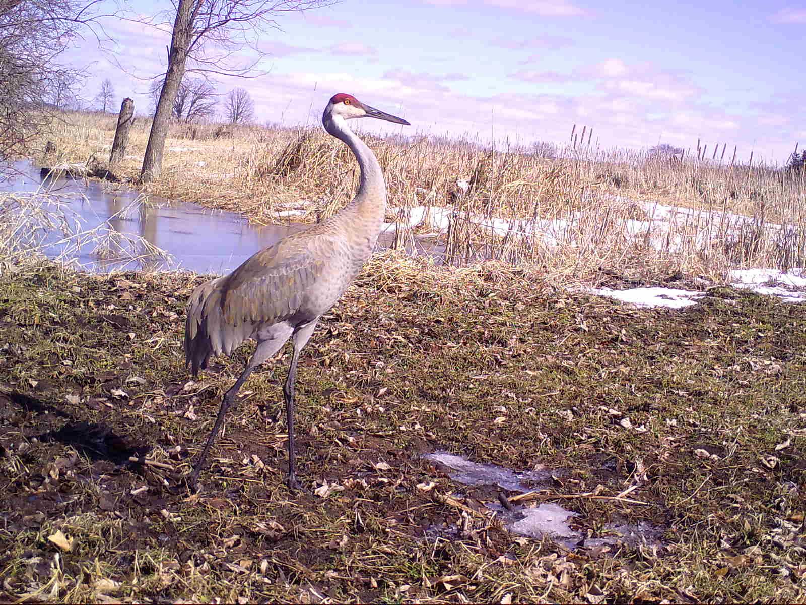 A sandhill crane in springtime