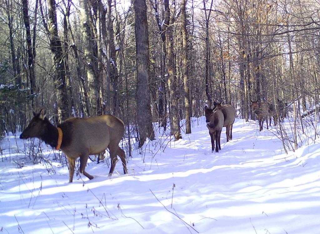 Elk herd walking through the snow