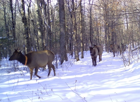 Elk herd walking through the snow