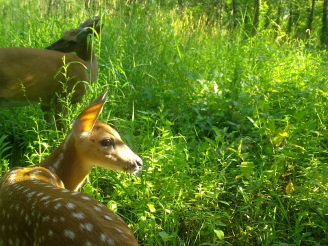 A fawn and doe