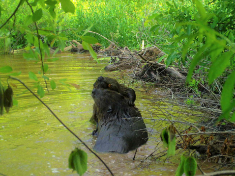 Two beavers interacting in a stream
