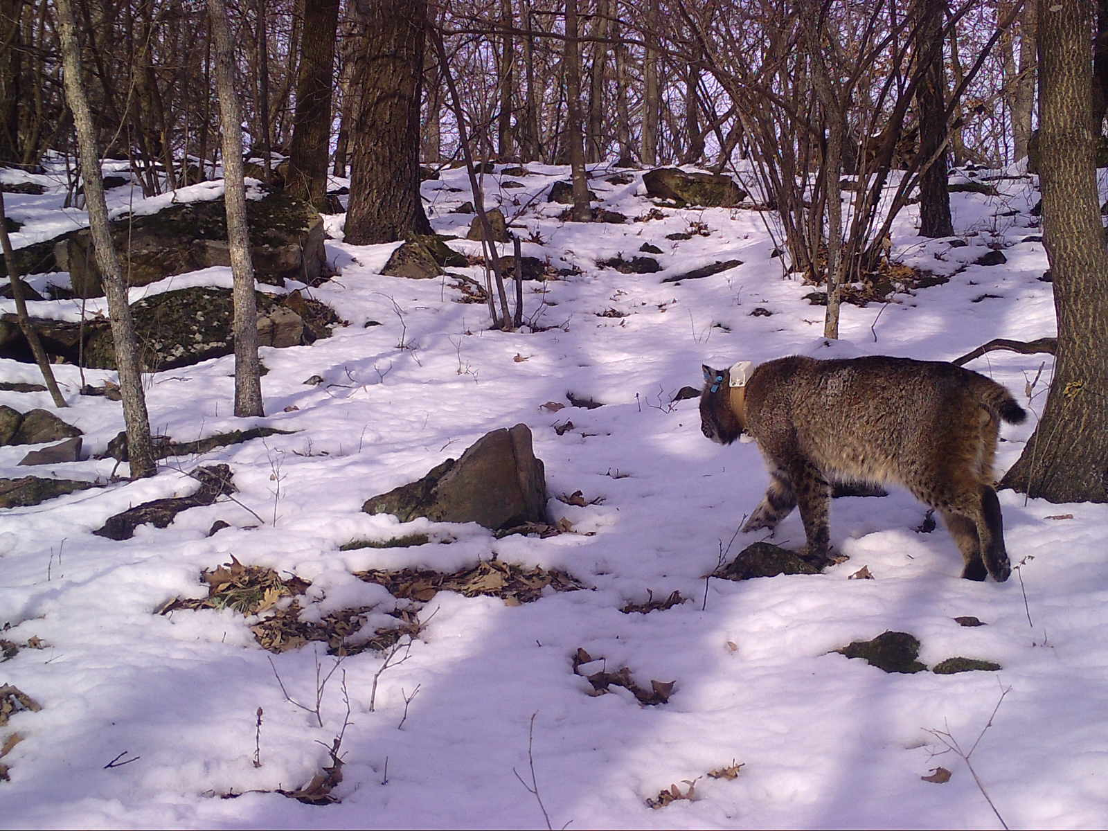 A bobcat with a radio collar around its neck.