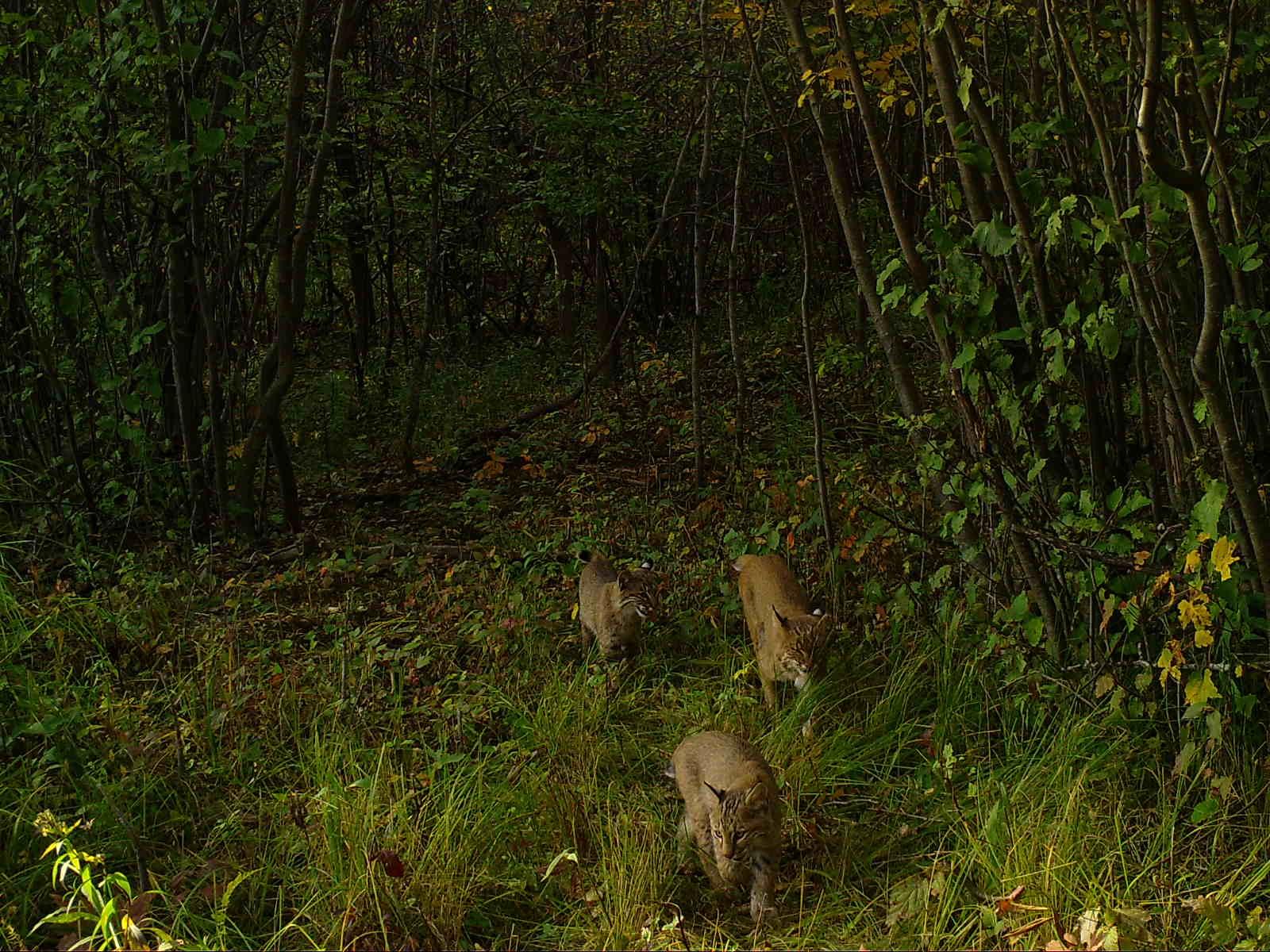 Bobcat kittens.