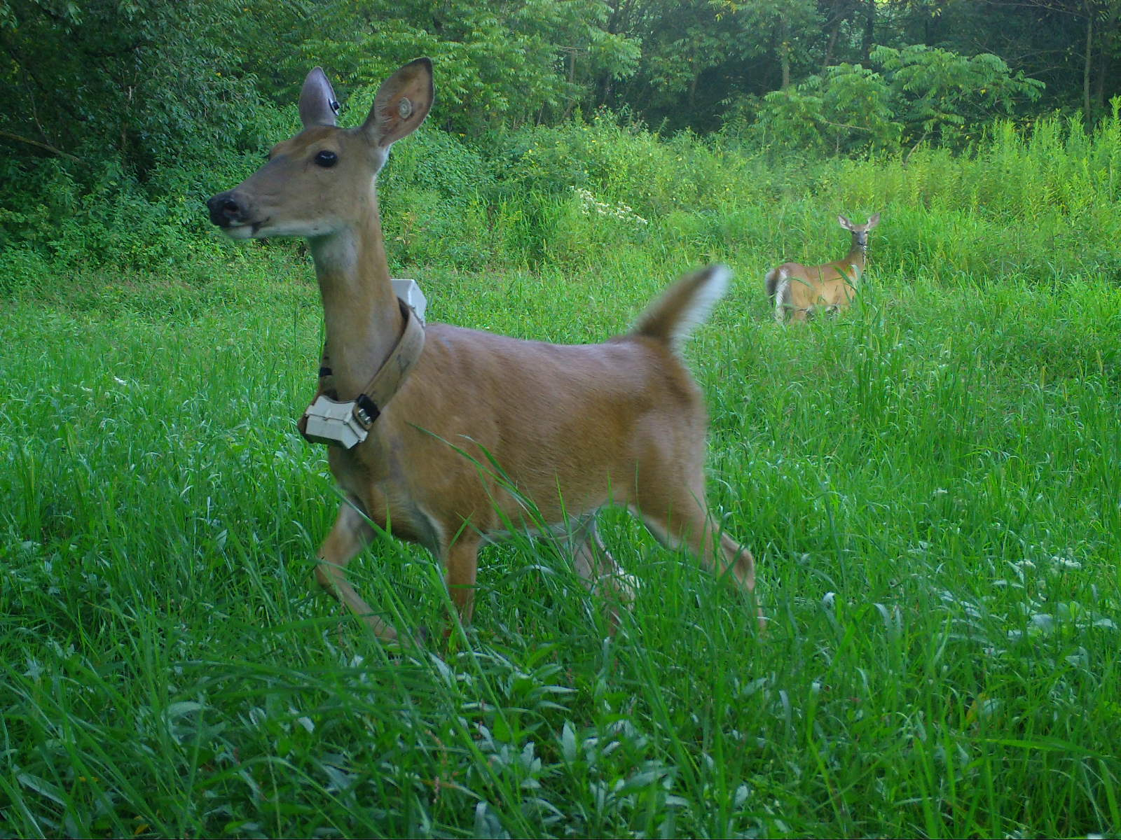 A deer with a radio collar around its neck.