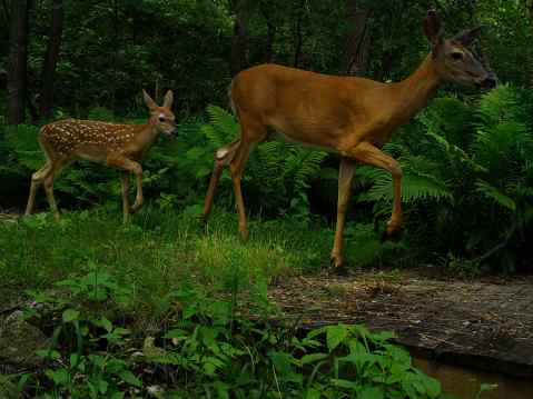 A doe and a fawn