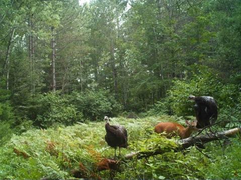 A doe and two turkeys in a field