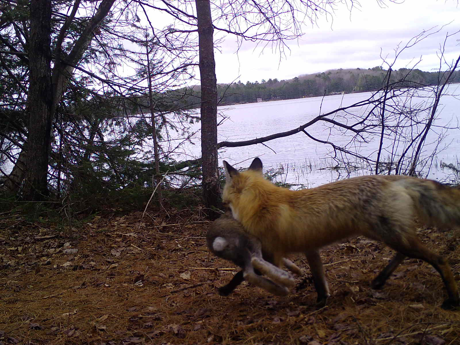 A red fox with a rabbit in its mouth