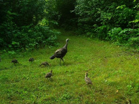 A turkey hen with five poults