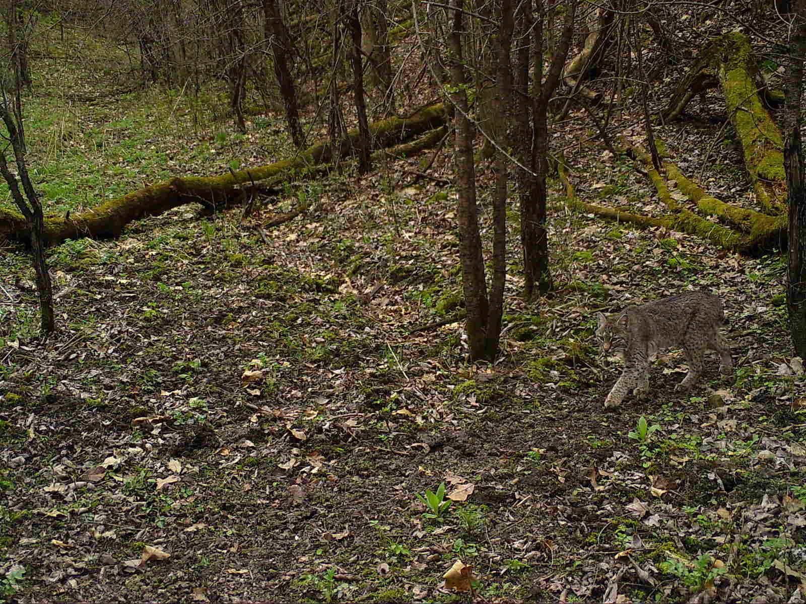 A bobcat walking through the woods