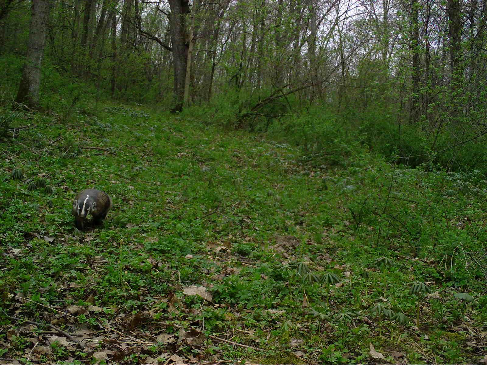 A badger walking across a green forest floor