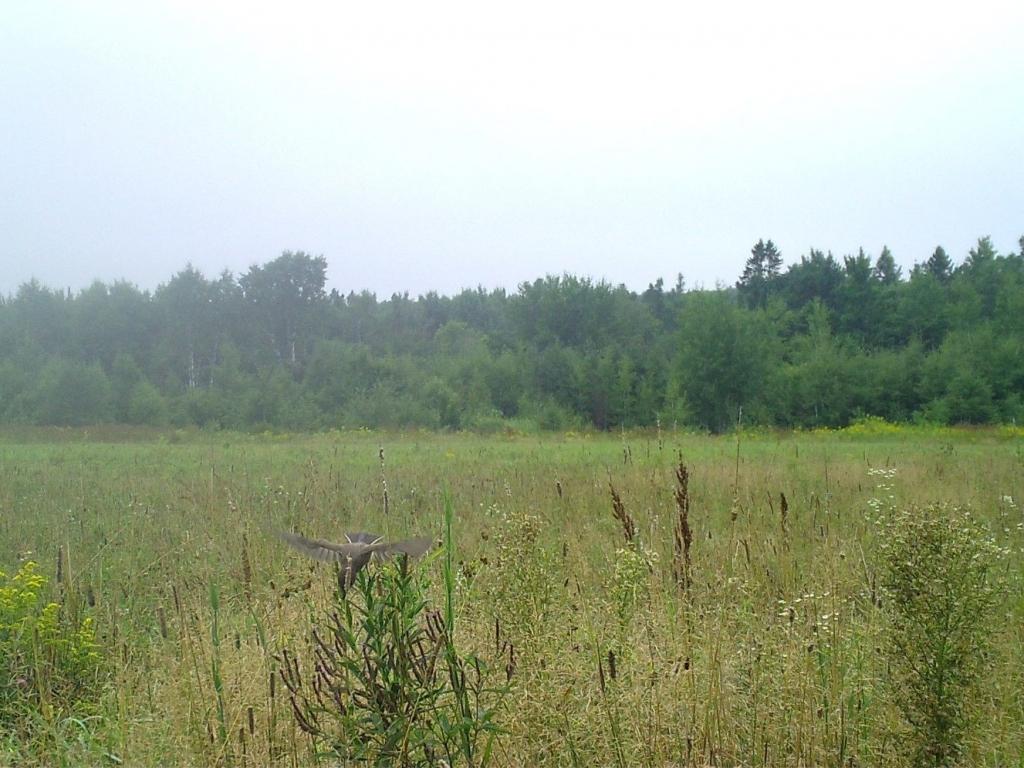 A western kingbird flying across a prairie