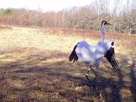 A whooping crane with colored bands on its legs