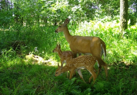 A doe and two fawns